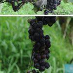 Anggur Jestro Ag5, Rajin Berbuah Siap Dikembangkan