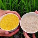 Golden Rice Beras Bervitamin