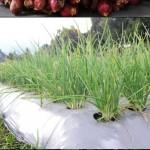 Usahatani Bawang Merah dan Cabai Merah dengan Inovasi Pertanian
