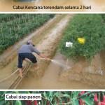 Kencana Si Merah Yang Bandel Terhadap Genangan Air Hujan