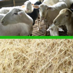 Bulu Ayam, Sumber Protein Baru untuk Domba