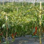 Kementan Imbau Masyarakat Tanam Sayuran di Pekarangan Guna Tingkatkan Pendapatan
